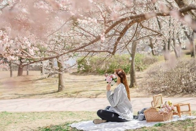 韓国のお花見、定番の楽しみ方を紹介(Instagram @awesome_picnic)の画像