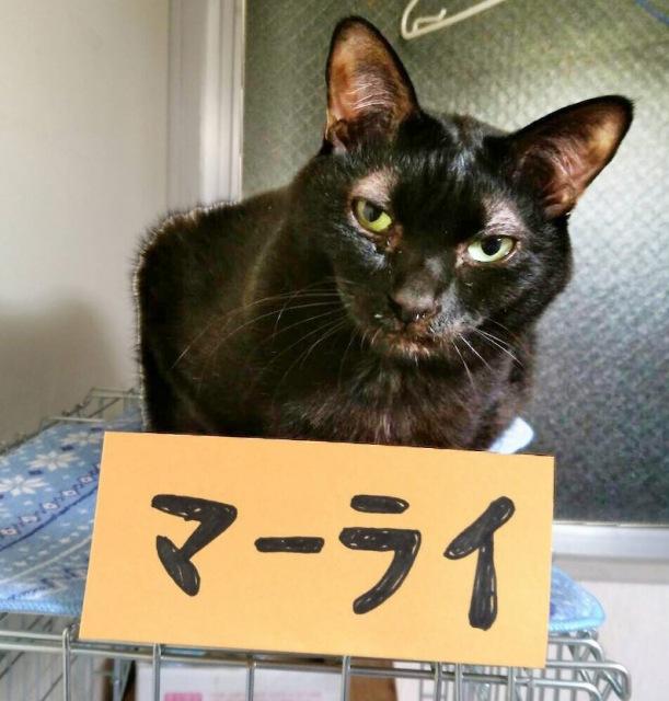 多頭飼育崩壊から保護された黒猫、マーライ(写真:ねこけんブログより)の画像