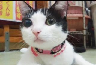 石垣島からやってきた保護猫、石垣島美(写真:ねこけんブログより)の画像