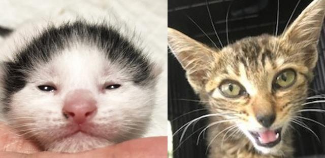 【ビフォー写真】ガッツ石松似のシャンちゃん(左)と、やせこけたヤギ(写真:ねこけんブログより)の画像