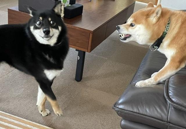 「この顔である」飼い主さんの実家で飼われていた先輩犬に怒られ、後ずさりする黒柴犬のつぶらちゃん(画像提供:@yurayura0105)の画像