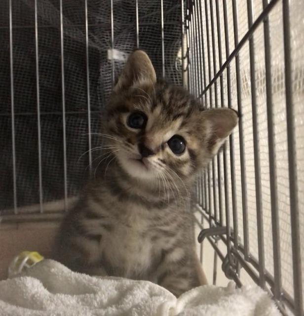 警官をにっこりさせてしまった子猫のおこめちゃん(画像提供:@chipie0826)の画像