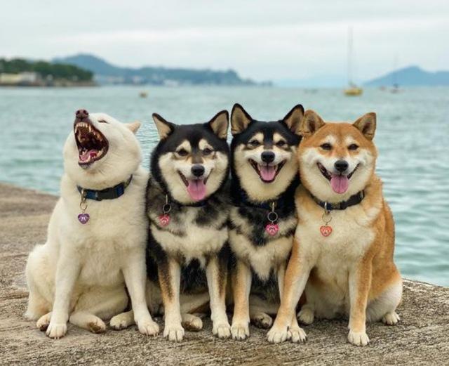 おすまし顔の姐さんたちをよそに…左端の白柴だけ我が道を行く? 柴犬4姉妹の画像