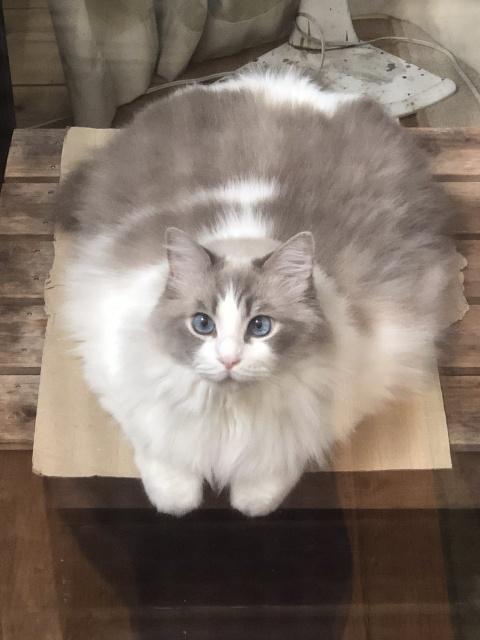 猫が溶けてる!? と話題になったラグドールのぷりくん(画像提供:@KRAUSER_MKM1000)の画像