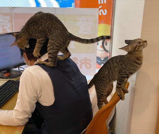 猫が出勤する珍しい不動産会社の投稿に6万以上のいいねが(画像提供:ユーエルネット江坂店)の画像