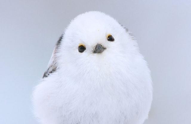 SNSで圧倒的な人気を誇る野鳥・シマエナガ(撮影:やなぎさわごう)の画像