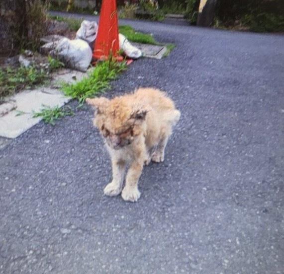 薬品をかけられるという虐待に遭ったボロボロの猫、虎吉(写真:ねこけんブログより)の画像