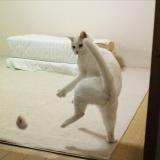 ほれぼれする躍動感、全身で感情を表現する白猫に「どじょうすくい?」「もはや人」
