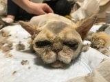「これが猫?」飼育崩壊から救われた猫の衝撃ビフォーアフター、愛情あふれる環境でフワフワ毛並み取り戻す