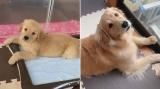 仔犬の見た目は天使だけど「大きくなってからが魅力的」、成長したゴールデンレトリバーの比較写真に反響