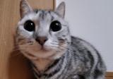 クリクリした目のアメショの美猫 飼い主の離婚に二晩鳴き続け…新たな居場所を見つけるまで