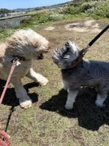もののけ姫にいた…? 風に吹かれて豊かすぎる体毛を披露した犬に反響「祟り神」「風神雷神みたい」