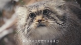 """最古の猫""""マヌルネコ""""に「一瞬で虜になった」 130万回再生の公式テーマソングで表現した""""聴く保全""""とは"""