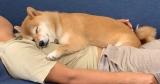 飼い主さんに抱き着き、お昼寝中の柴犬はなちゃんの画像