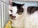 新宿歌舞伎町で「ネズミ捕り」に引っかかった巨猫、呼べば「にゃ~」と答える安心の保護猫生活