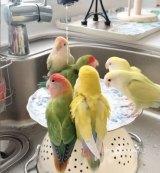 ぎゅうぎゅうで水浴びをするインコたち (C)ぷちまーめさん(puchimame1613)の画像