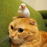 猫のしゃけちゃんの上でくつろぐ、文鳥のシムシムちゃん 写真提供:まぐさん(@tamam_mag)の画像